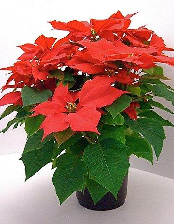 Фото цветок рождественская звезда