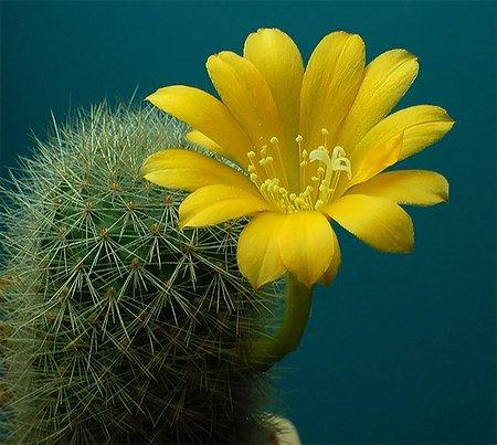 http://x-flowers.ru/uploads/posts/2012-01/1326489707_kaktus-cvetet.jpg