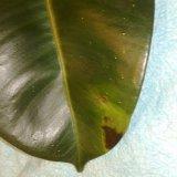 Коричневые пятна на кончиках и краях листьев фикуса