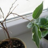 Опадают внезапно листья у фикуса