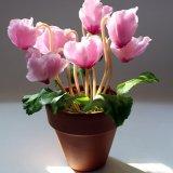 Цикламен цветет